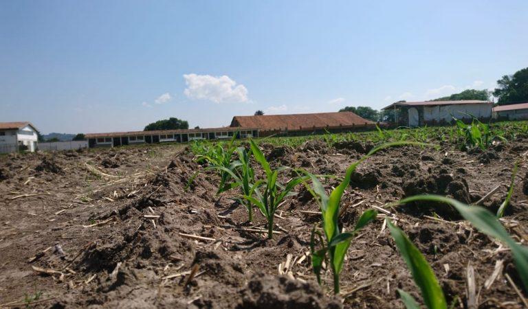 Sedagro trabaja en mejorar la estructura genética del maíz